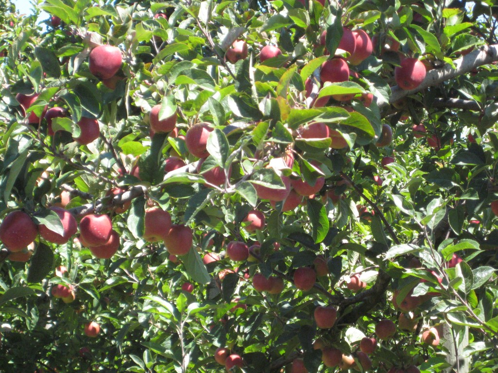 Apple Trees at the Pernel Orchards