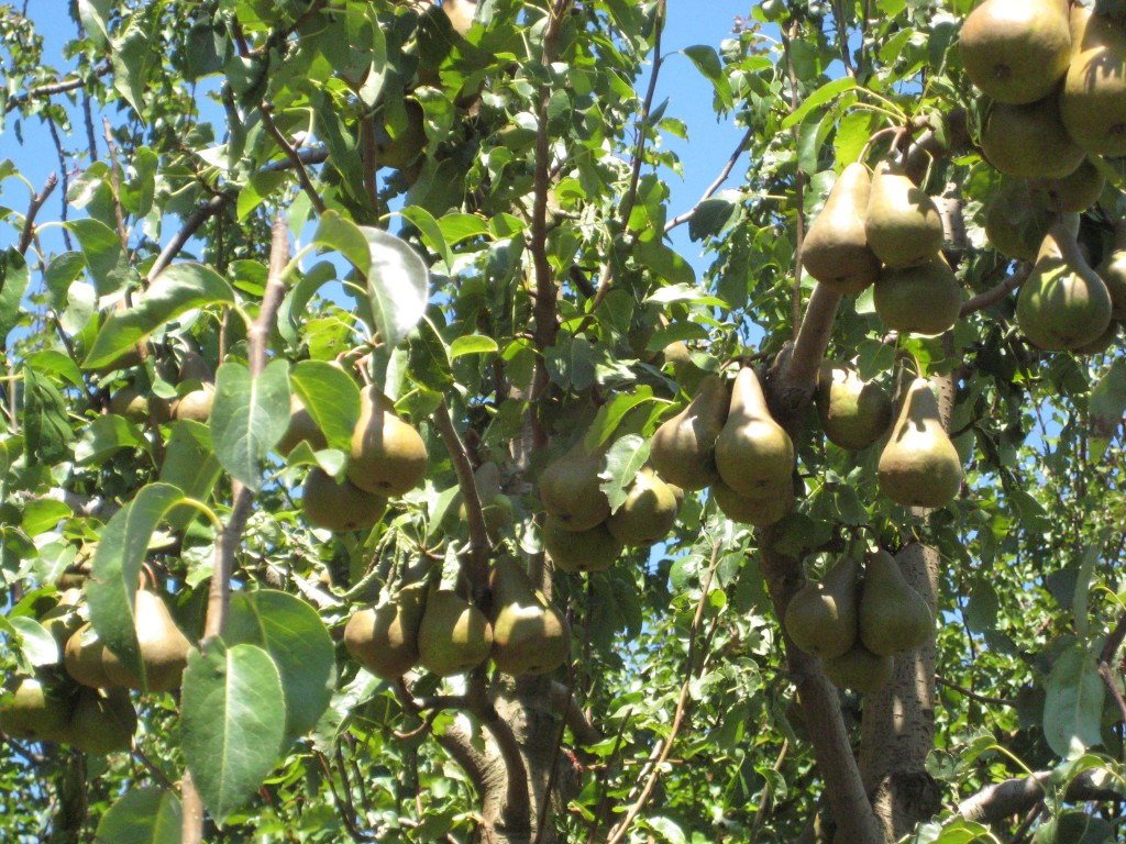 Pear Trees at the Pernel Orchards