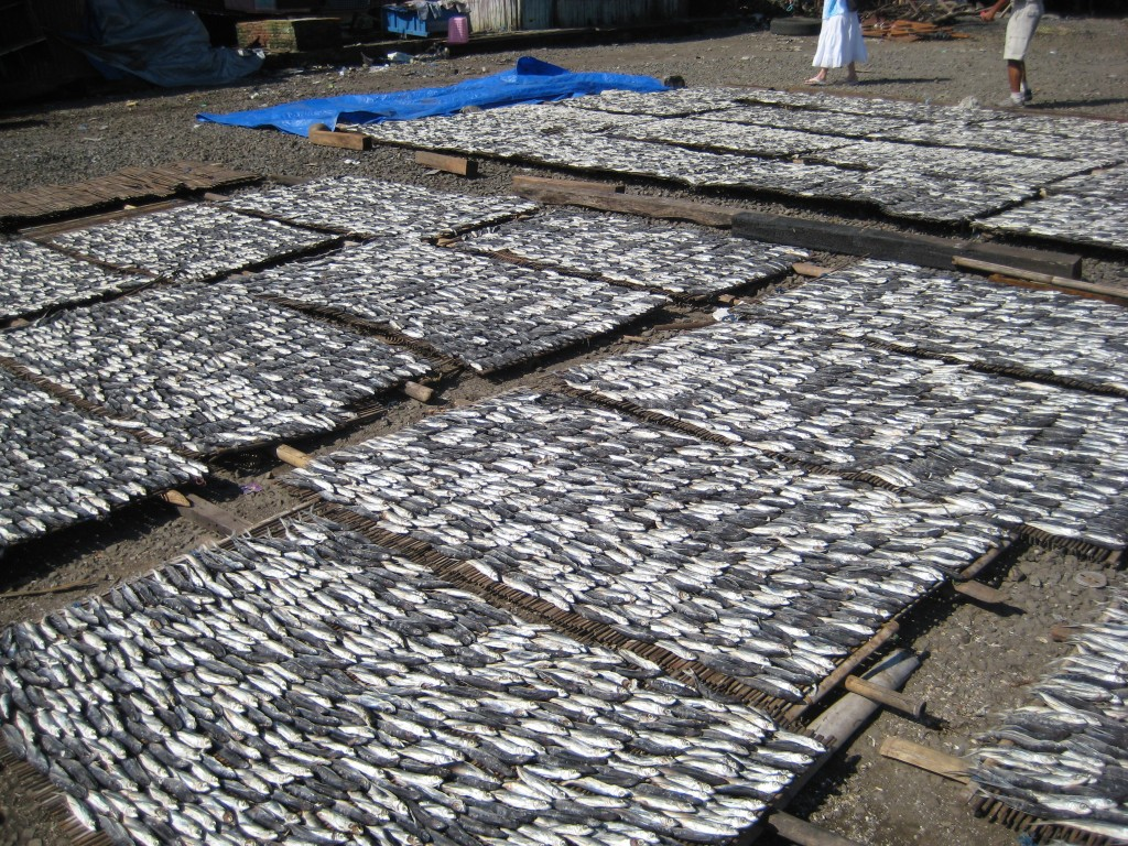 Fish laid out to dry