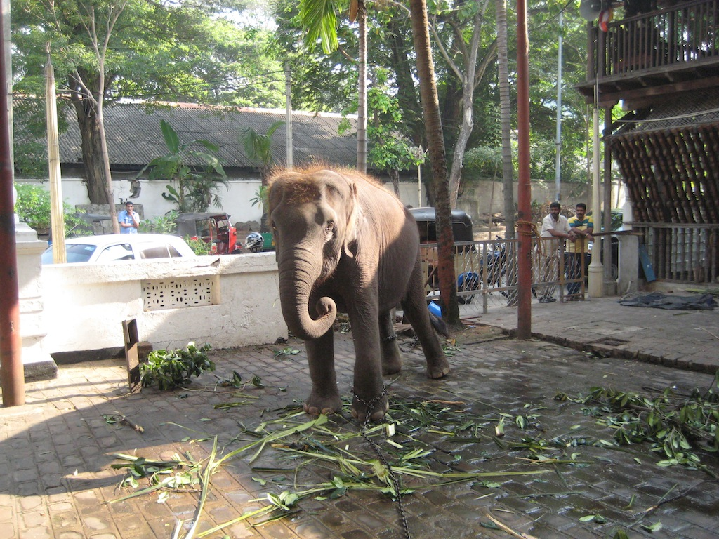Elephant at the Buddhist Temple