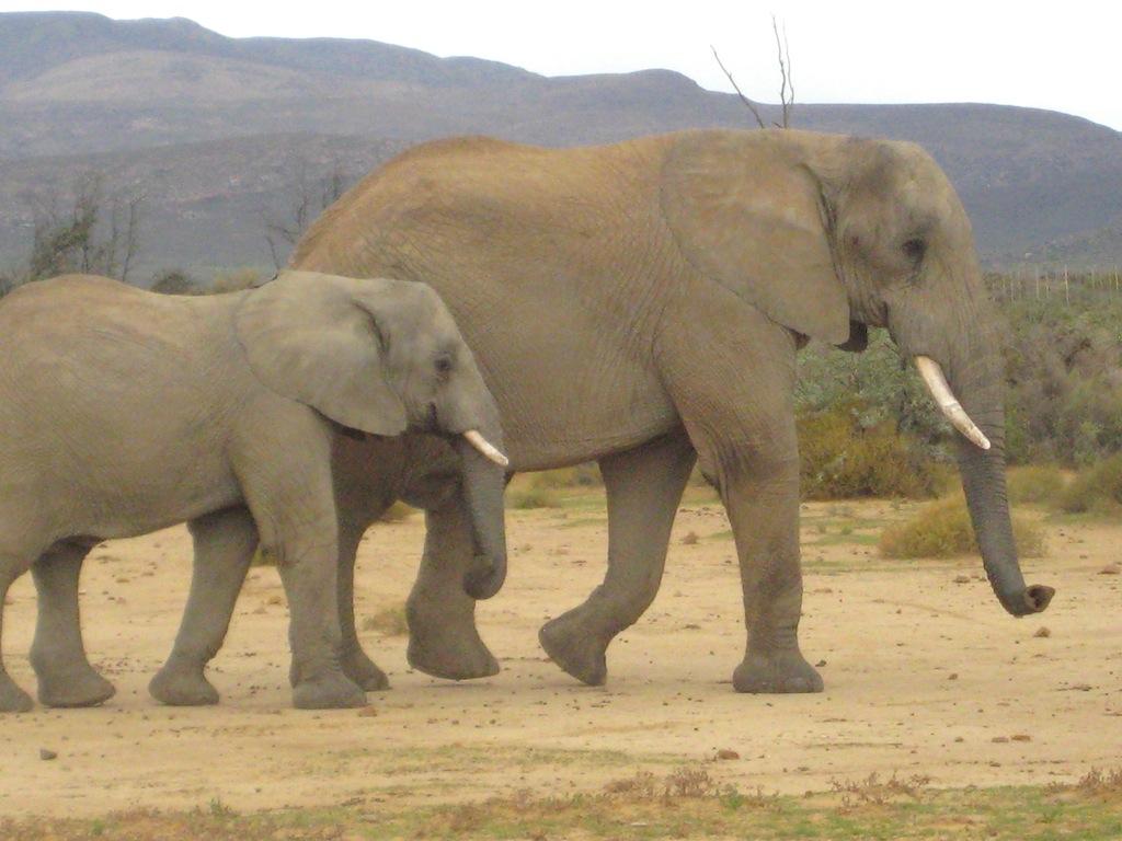 Inverdoorn Elephants