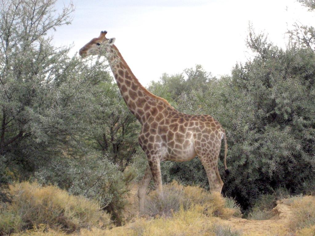 Inverdoorn Giraffes
