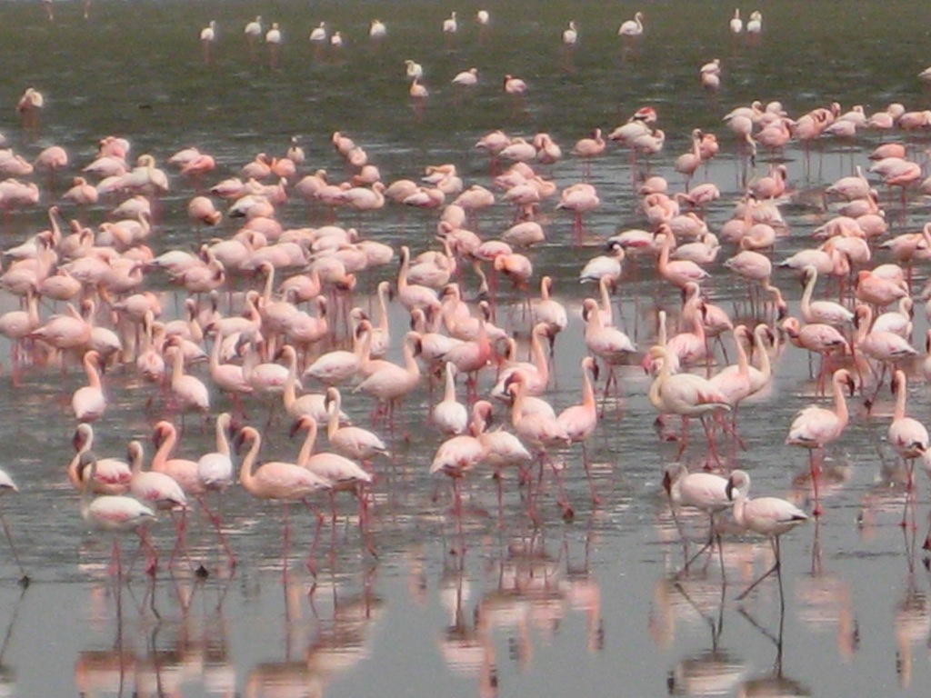 Flamingos at Sandwich Harbor