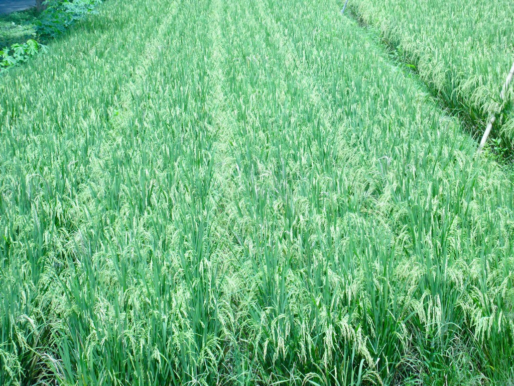 Lembar Rice Fields