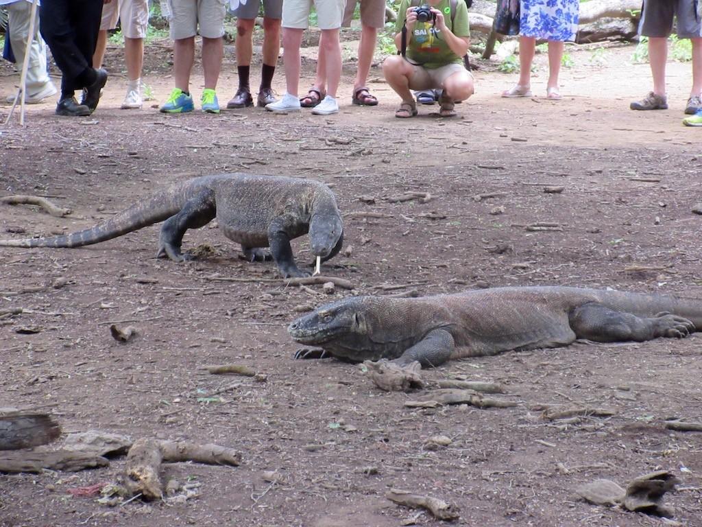Komodo Island Komodo Dragons