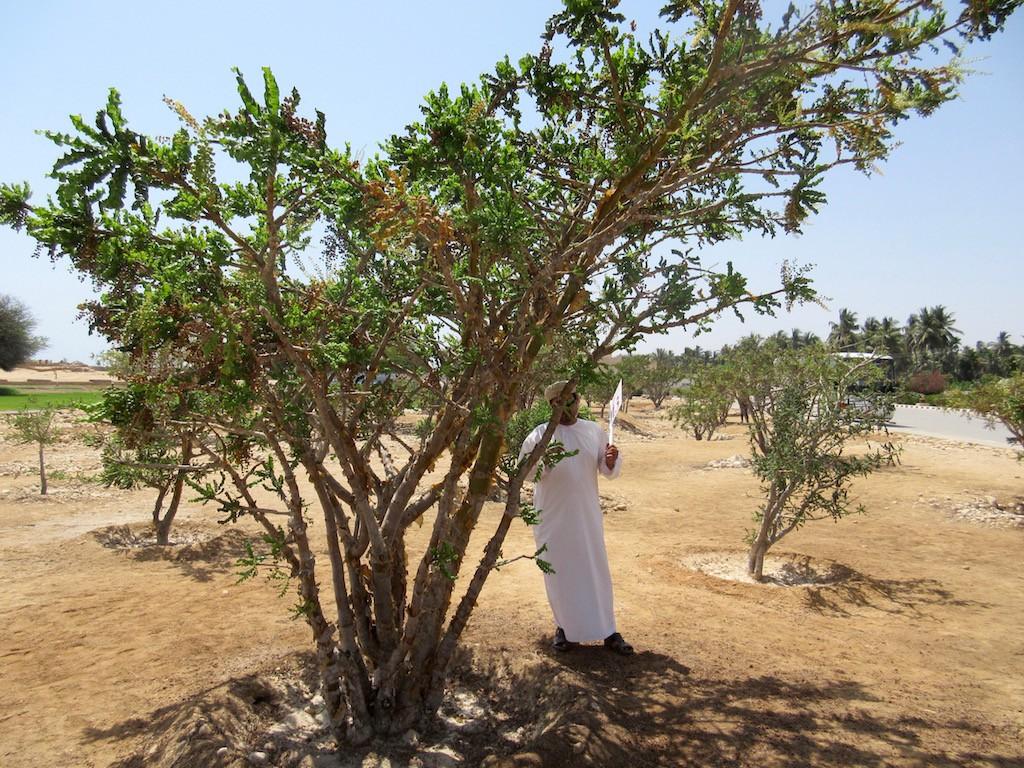 Salalah, Oman - Frankincense Tree